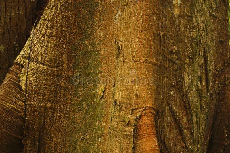 Detail van Ceiba, tropische boom, Achtergrond royalty-vrije stock foto