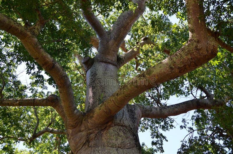 Detail van ceibaboom in Vinales-vallei, Cuba stock fotografie