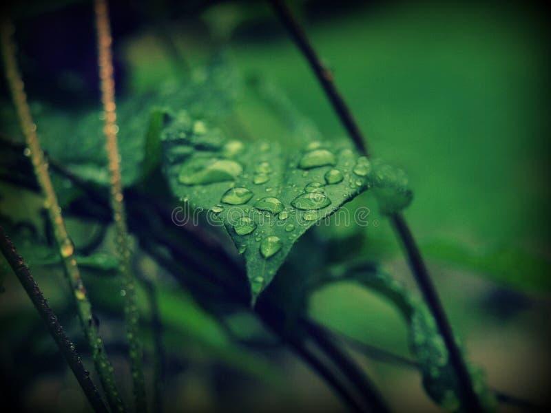 Detail van daling na regen - Clematissen royalty-vrije stock foto