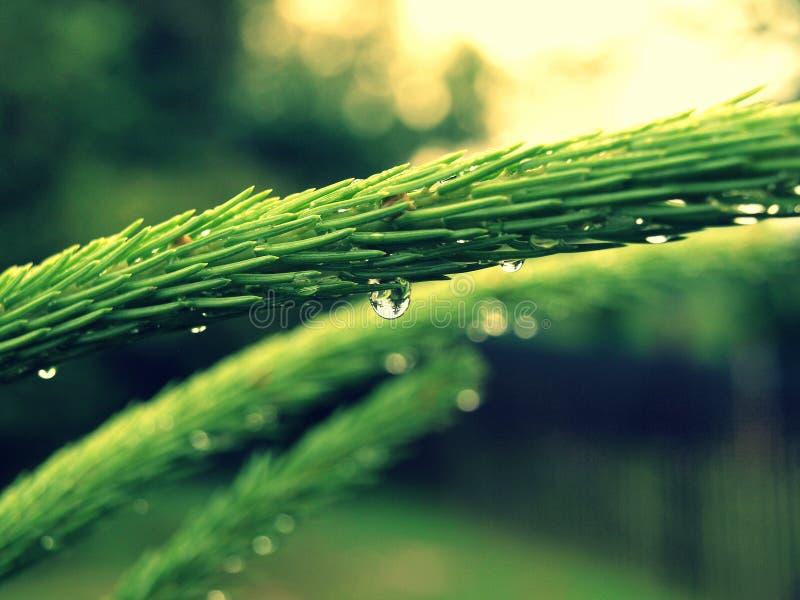 Detail van daling na regen - Picea royalty-vrije stock fotografie