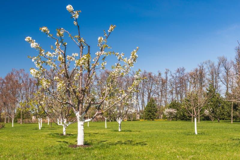 Detail van een bloeiende boomgaard stock fotografie