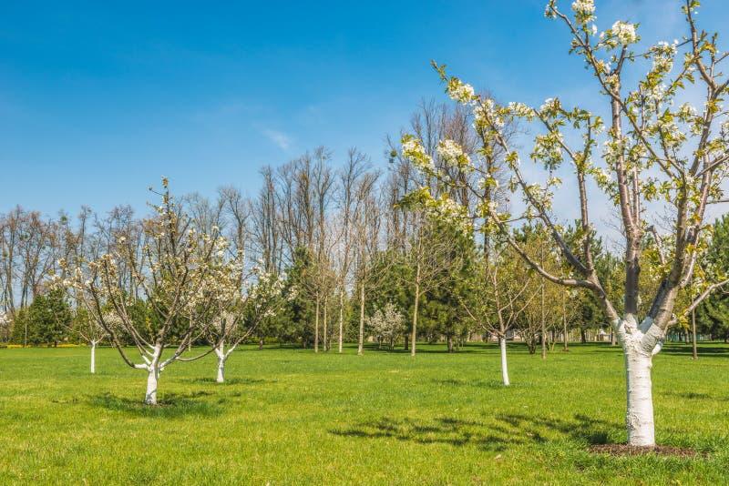 Detail van een bloeiende boomgaard stock foto
