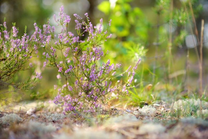 Detail van een bloeiende heideinstallatie in Litouws landschap stock afbeeldingen