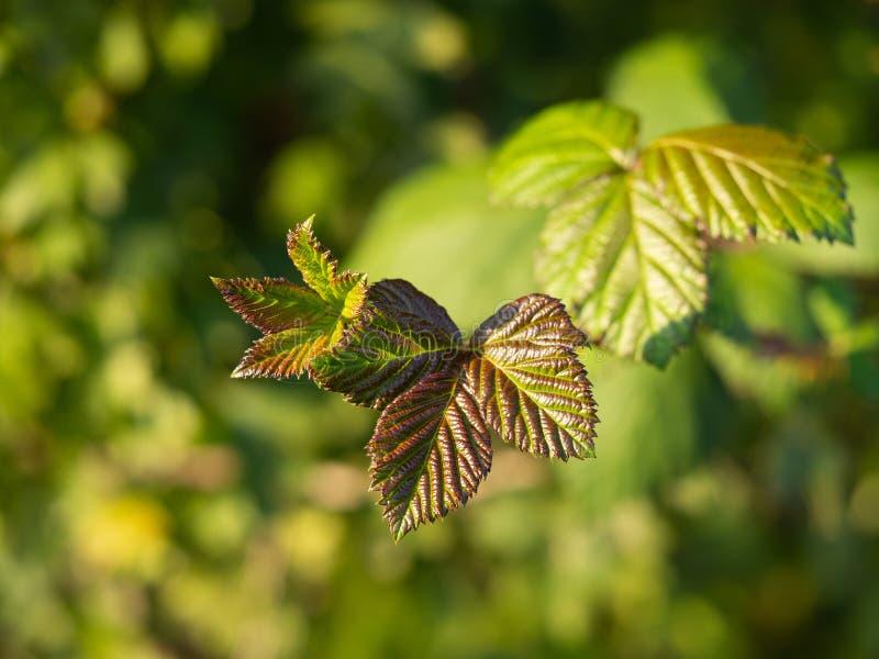 Detail van een braambesseninstallatie, bladeren in zonlicht royalty-vrije stock foto's