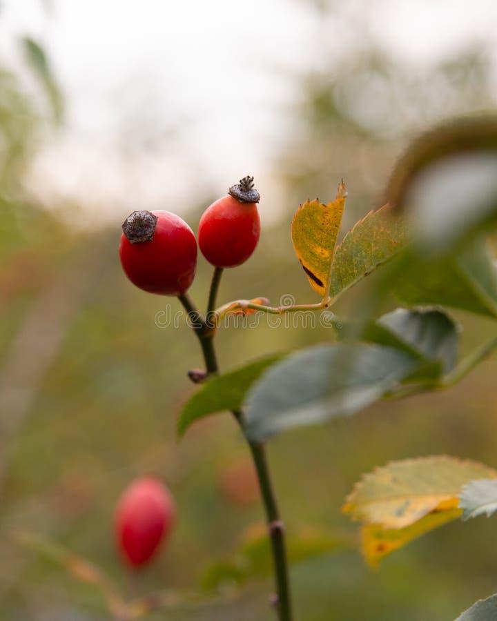 Detail van een meer brier fruit stock foto's
