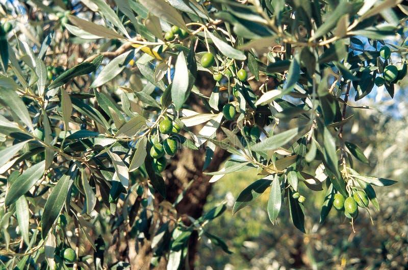Detail van een olijftak van Drome, Frankrijk stock foto's