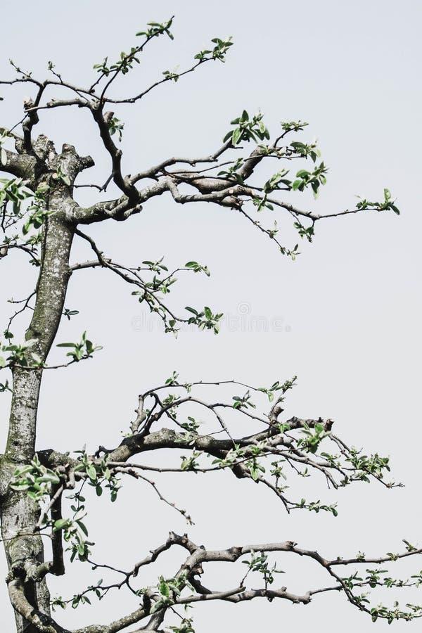 Detail van gesnoeide kweepeerboom stock afbeelding