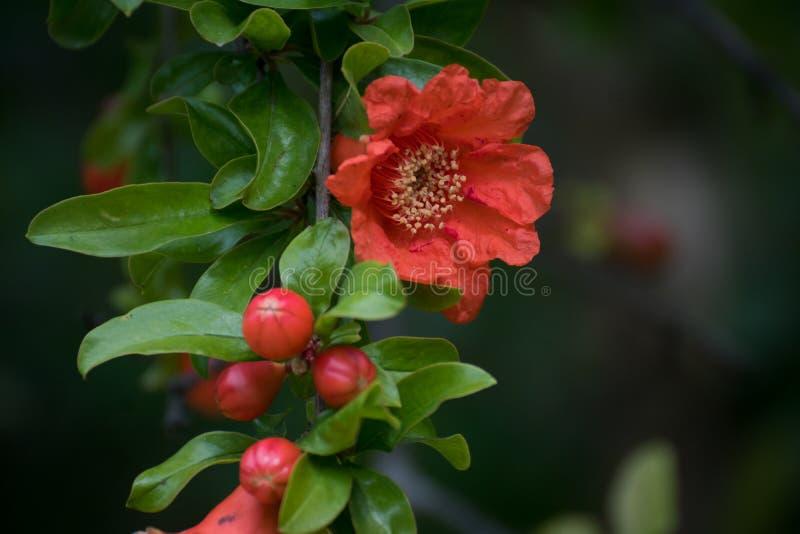 Detail van granaatappelbloem in de lente royalty-vrije stock foto's