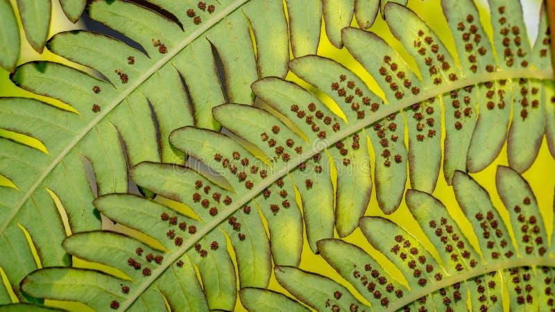 Detail van groene bladeren van een varen royalty-vrije stock foto's