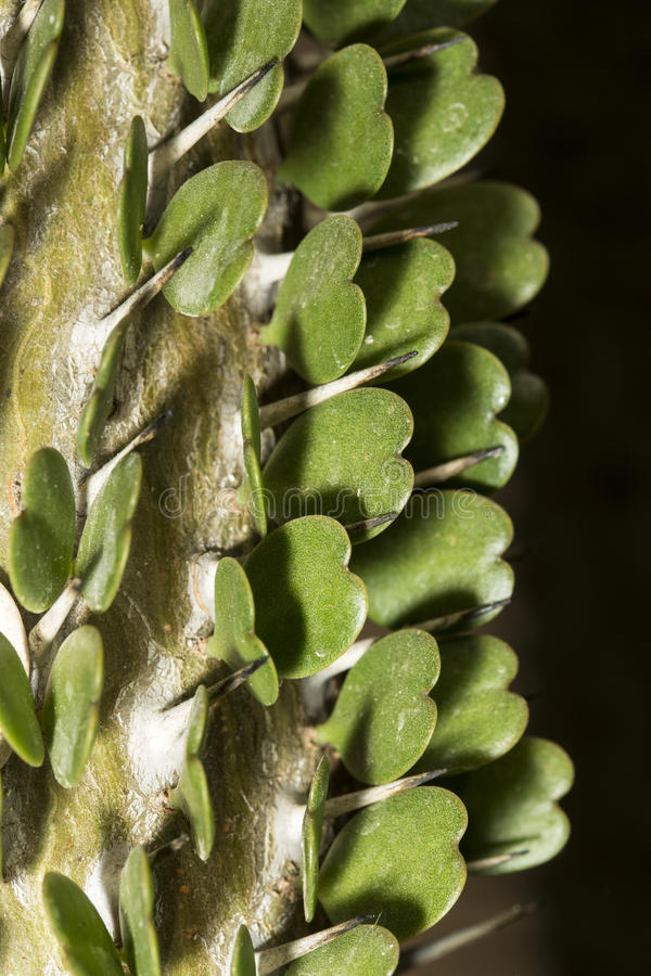 Detail van hart gevormde bladeren en doornen van Alluaudia adscendens royalty-vrije stock afbeelding