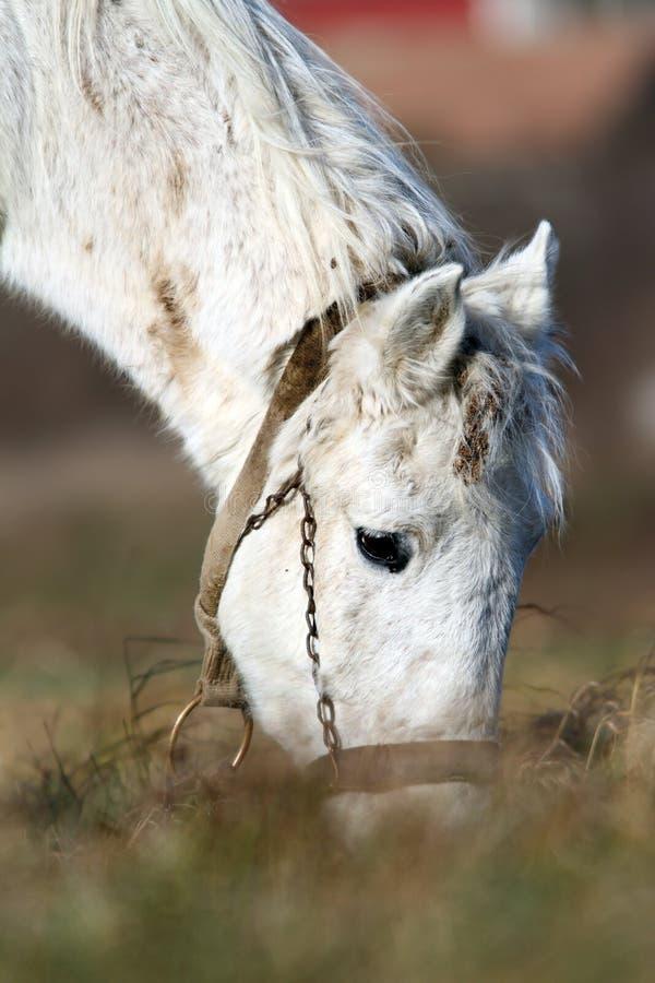 Detail van het witte paard weiden stock foto's