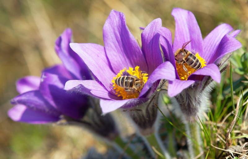 Detail van honingbij bij het violette bloeien Pasqueflover stock fotografie