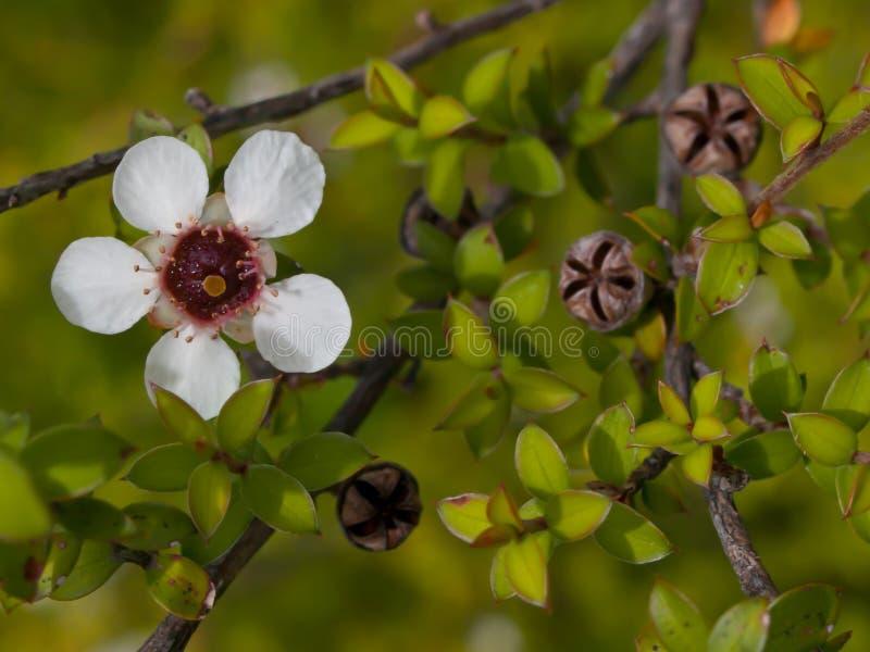 Detail van manukabloem stock afbeeldingen