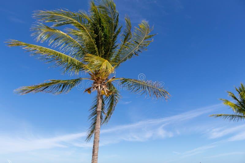 Detail van palm met kokosnoten over blauwe hemel in de Caraïben stock foto's