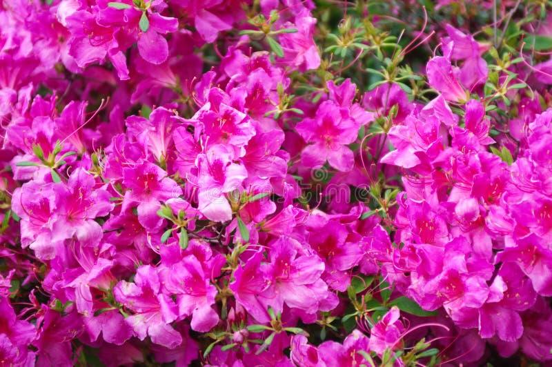 Detail van rododendronstruik stock foto's