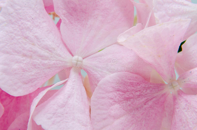 Detail van Roze hortensia, dichte omhooggaand van de hydrangea hortensiabloem stock afbeeldingen