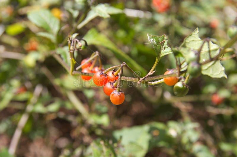 Detail van sommige wilde vruchten van het bos van La Gomera stock afbeeldingen
