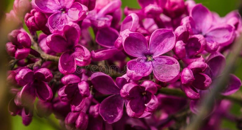 Detail van verse purpere lilac tot bloei komende bloemen royalty-vrije stock afbeeldingen