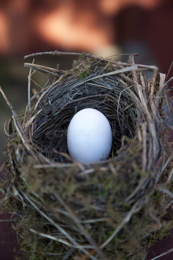 Detail van vogeleieren in nest stock foto's