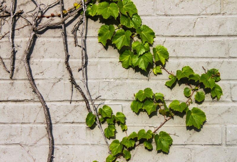Detail van wijnstok op lichte bakstenen muur royalty-vrije stock foto