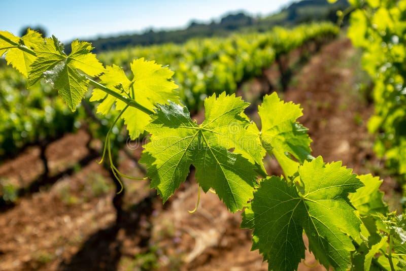 Detail van wijnstokbladeren tegen uit nadrukwijngaard royalty-vrije stock foto