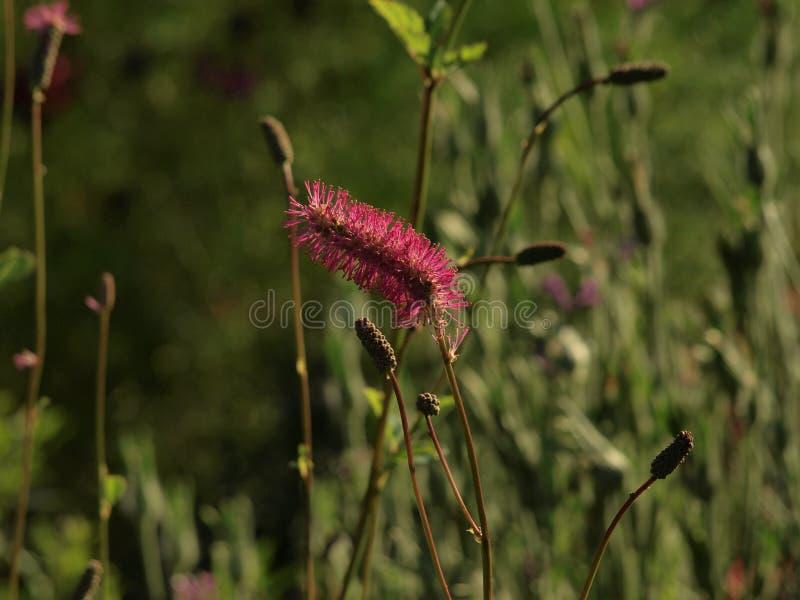 Detail van zeer aardige rode of roze bloem royalty-vrije stock afbeelding