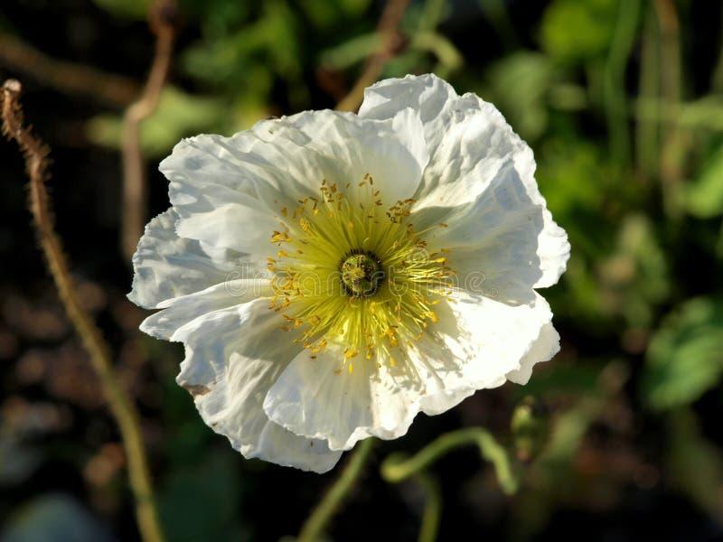 Detail van zeer aardige witte bloem stock fotografie