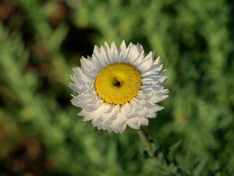 Detail van zeer aardige witte bloem royalty-vrije stock foto