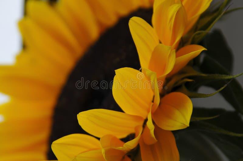 Detail van zonnebloem, de grote bloem royalty-vrije stock fotografie