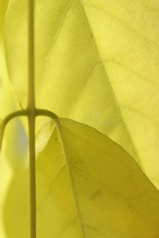 Download Detail, Vein Pattern In Yellow Wisteria Stock Image - Image: 11475601