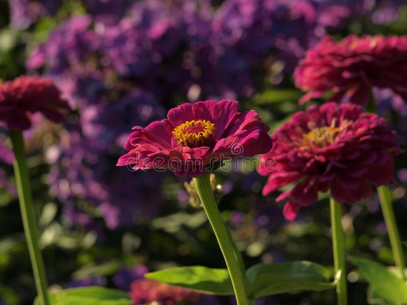 Detail of very nice red or violet flower royalty free stock photography