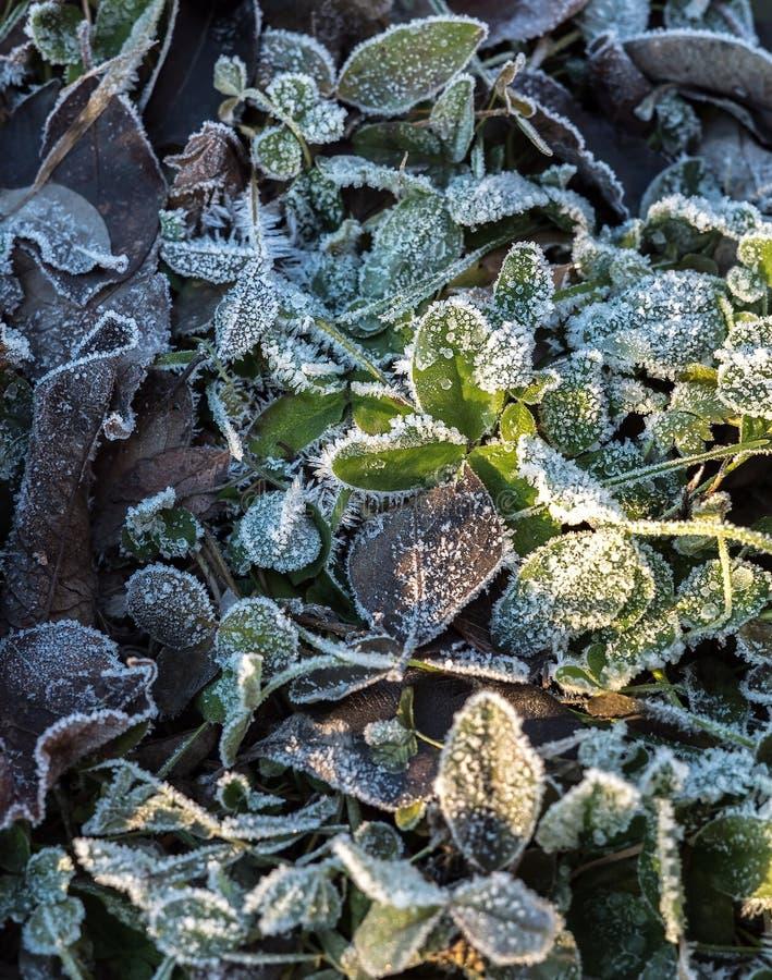 Detail vieler verschiedenen gefrorenen und gefrorenen klaren Blätter aus den Grund, der in bereiftem Hoar umfasst wird, bereifen  stockbild