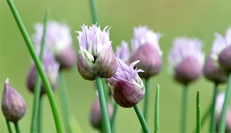 Fresh chive plant. Detail view, fresh chive plant stock photos