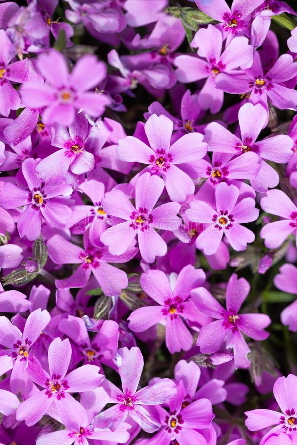 Detail of view on many purple blooms of small garden flower. Vertical photo with detail of carpet created by pink and purple phlox flowers. Blooms with colorful stock photography