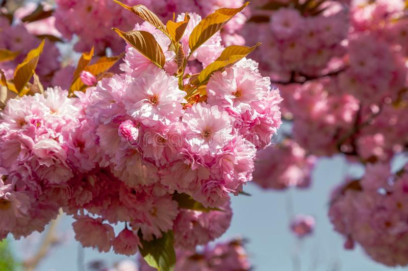 Detail of cherry blossom in full bloom early spring. Detail view of pretty cherry blossom tree in Berlin in full bloom in bright sunlight royalty free stock image