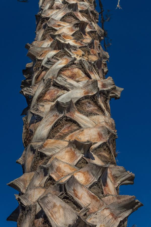 Detail view of the trunk of a Washingtonia fan palm tree set against a deep blue sky royalty free stock image