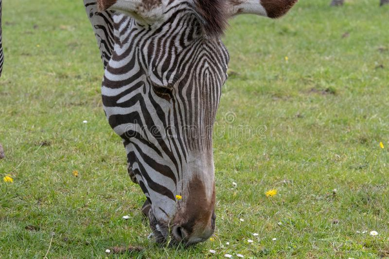 A detail view of the underside of a Zebra`s head and snout whilst it is grazing royalty free stock photos