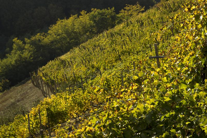Detail of vineyards with leaves and grape vines. In autumn in Croatia. Sunny atmosphere royalty free stock photos