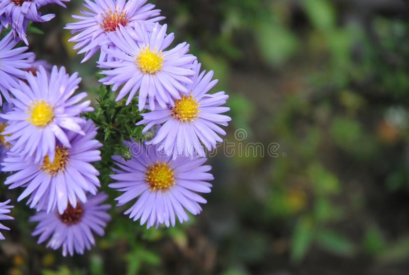 Detail of violet flowers stock image