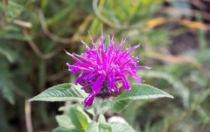 Detail of violet monarda didyma royalty free stock photography