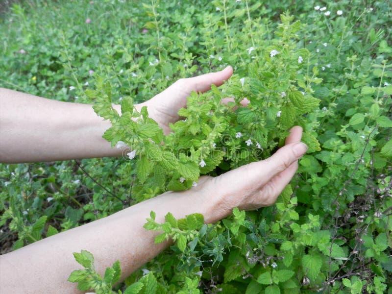 Detail von Gartenkräutern, Melisse oder botanischer Name Melissa medizinisch Ernten von Kräutern lizenzfreie stockbilder