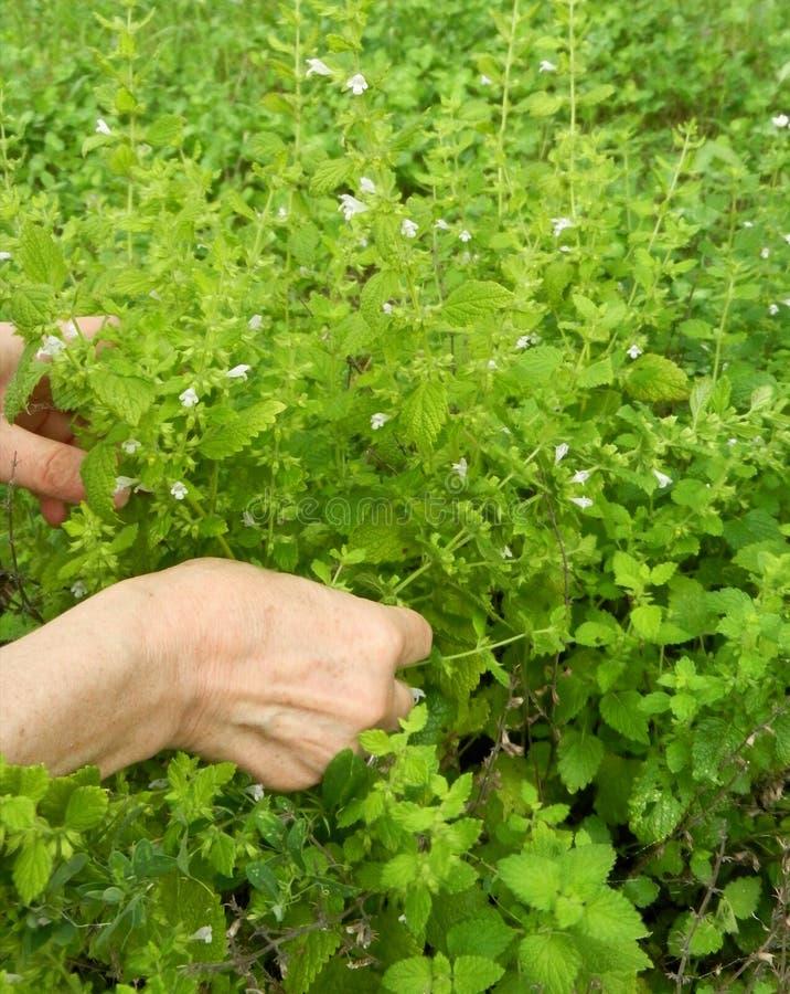 Detail von Gartenkräutern, Melisse oder botanischer Name Melissa medizinisch Ernten von Kräutern lizenzfreie stockfotografie