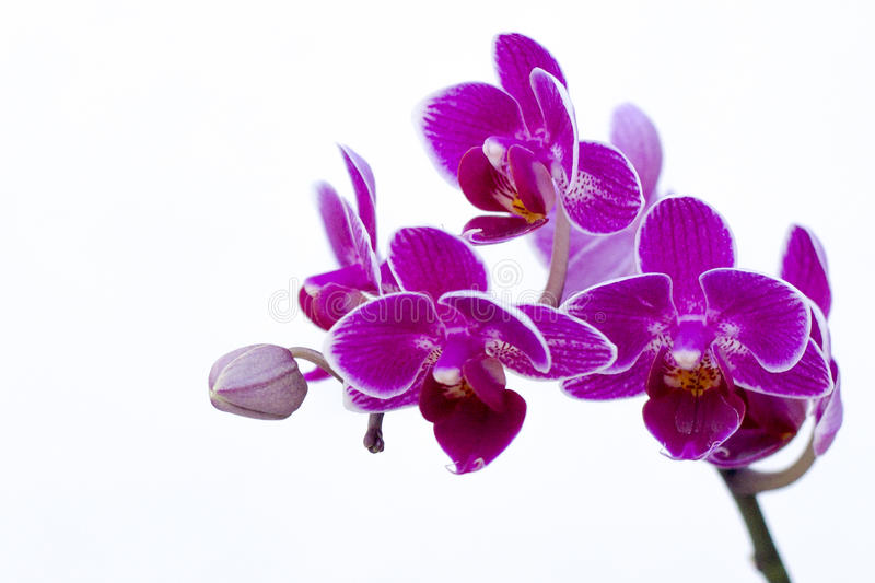 Detail von purpurroten Orchideen stockfoto