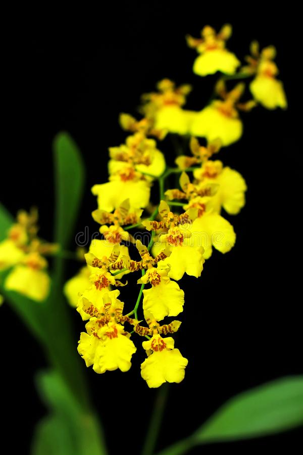 Detail von weißen goldenen Duschorchideen mit schwarzem Hintergrund lizenzfreie stockfotos