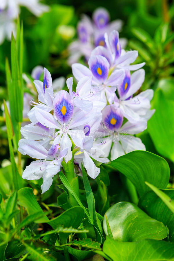 Detail of water hyacinth. Detail of white and purple water hyacinth stock images