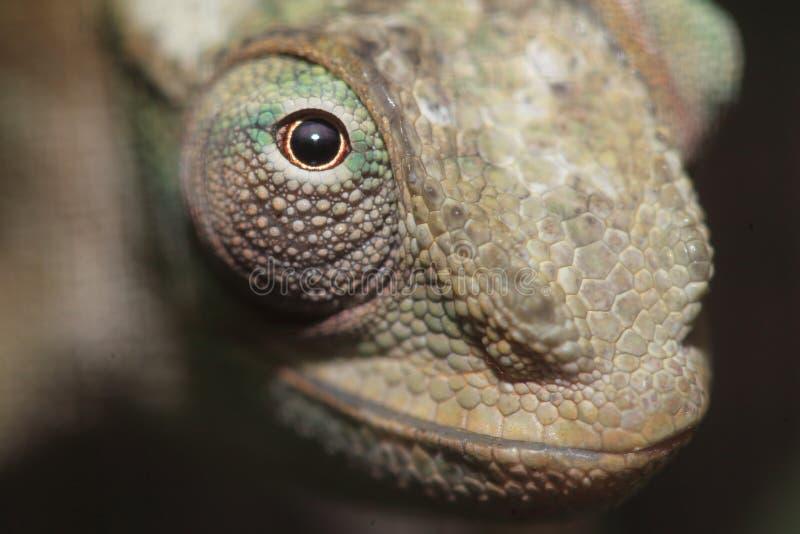 West Usambara two-horned chameleon stock images