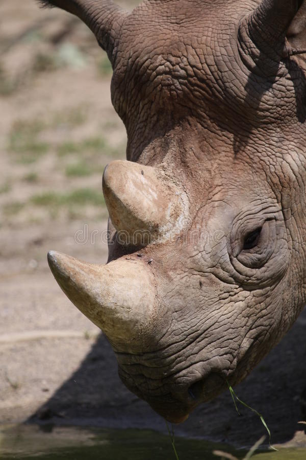 Detail of white rhinoceros. The White Rhinoceros or Square-lipped rhinoceros (Ceratotherium simum) is one of the five species of rhinoceros that still exist and stock photo