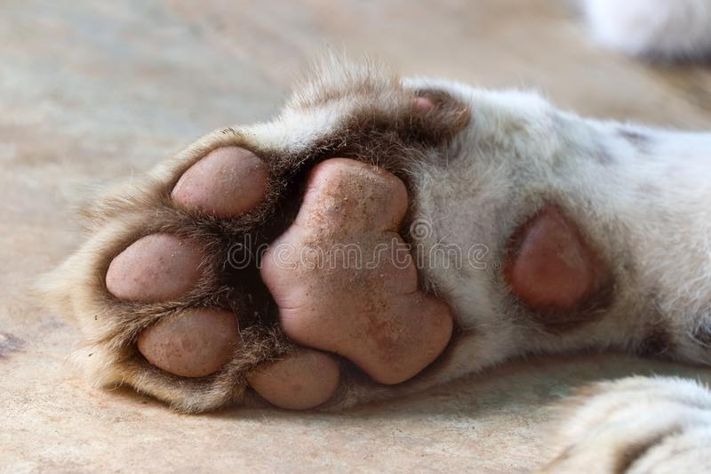 Tiger paw royalty free stock image
