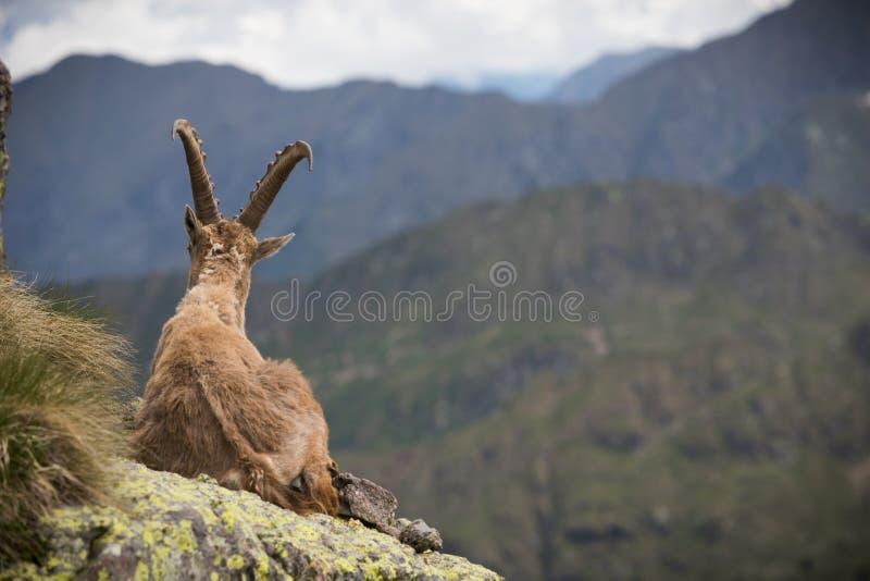 A wild ibex stock photography