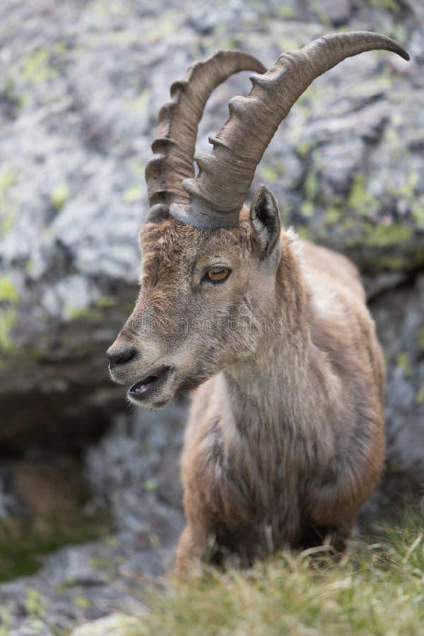 A wild ibex stock image